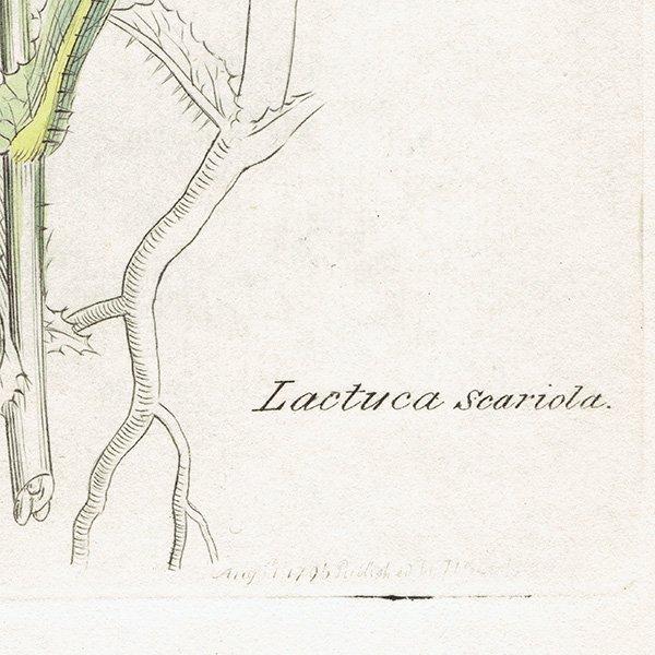 イギリス ボタニカルプリント/植物画 Lactuca scariola(トゲチシャ). plate.1070,1839 JAMES S3OWERBY 0344