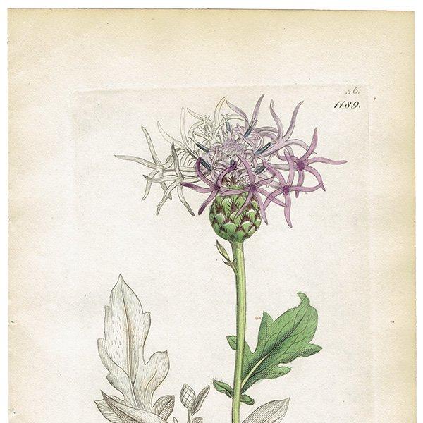 イギリス ボタニカルプリント/植物画 Centaurea scabiosa(グレーターナップウィード/ヤグルマギク). plate.1189,1839 JAMES S3OWERBY 0345
