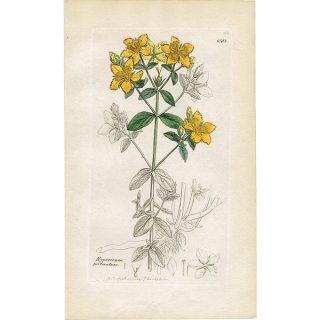 イギリス ボタニカルプリント/植物画 Hypericum perforatum(セイヨウオトギリ). plate.1053,1839 JAMES S3OWERBY 0346