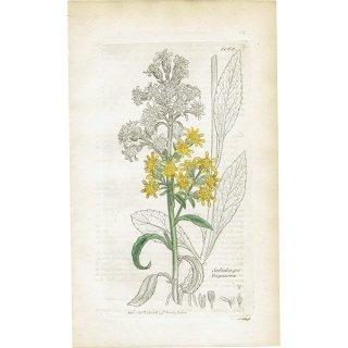 イギリス ボタニカルプリント/植物画 Solidago Viragaurea(ミヤマアキノキリンソウ). plate.1162,1839 JAMES S3OWERBY 0347