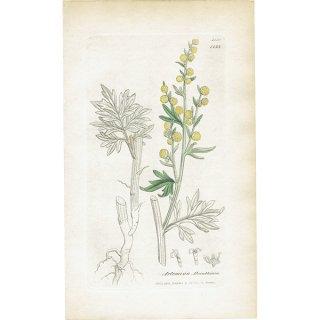 イギリス ボタニカルプリント/植物画 Artemisia Absinthium(ニガヨモギ). plate.1133,1839 JAMES S3OWERBY 0348