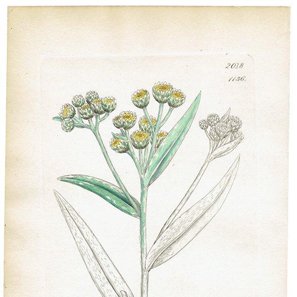 イギリス ボタニカルプリント/植物画 Gnaphalium margaritaceum(ヤマハハコ). plate.1136,1839 JAMES S3OWERBY 0349