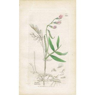イギリス ボタニカルプリント/植物画 Orobus tuberosus(ブラックビターベッチ). plate.998,1839 JAMES S3OWERBY 0350