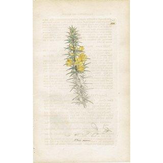 イギリス ボタニカルプリント/植物画 Ulex nanus(ハリエニシダ). plate.991,1839 JAMES S3OWERBY 0351