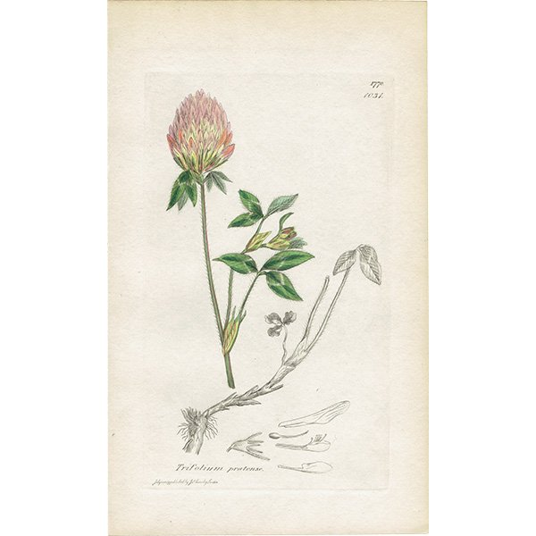 イギリス ボタニカルプリント/植物画 Trifolium medium(オオバノアカツメクサ). plate.1031,1839 JAMES S3OWERBY 0352