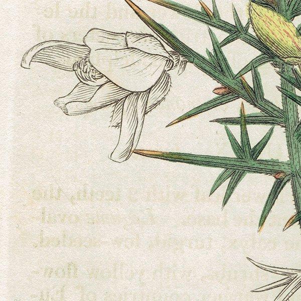 イギリス ボタニカルプリント/植物画 Ulex Europaeus(ハリエニシダ). plate.990,1839 JAMES S3OWERBY 0353