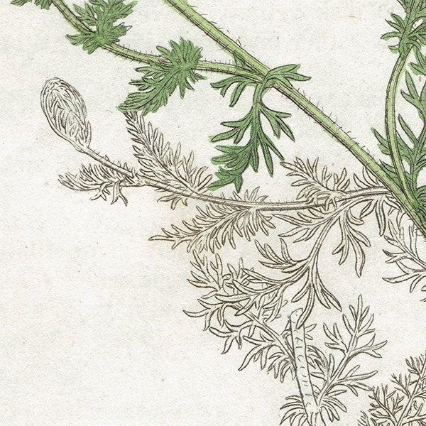 イギリス ボタニカルプリント/植物画 Anthemis nobilis(ローマンカモミール). plate.1178,1839 JAMES S3OWERBY 0354