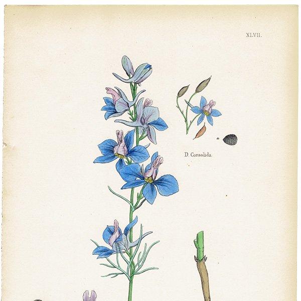 イギリス ボタニカルプリント/植物画 Delphinium Ajacis(チドリソウ). plate.47,1863JOHN EDWARD SOWERBY 0356