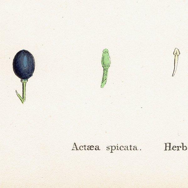 イギリス ボタニカルプリント/植物画 Actaea spicata(ルイヨウショウマ属植物). plate.49,1863JOHN EDWARD SOWERBY 0357