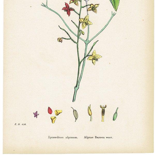 イギリス ボタニカルプリント/植物画 Epimedium alpinum(イカリソウ属). plate.52,1863JOHN EDWARD SOWERBY 0359