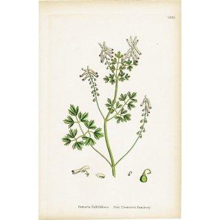 イギリス ボタニカルプリント/植物画 Fumaria Pallidiflora(カラクサケマン). plate.72,1863JOHN EDWARD SOWERBY 0365<img class='new_mark_img2' src='https://img.shop-pro.jp/img/new/icons5.gif' style='border:none;display:inline;margin:0px;padding:0px;width:auto;' />