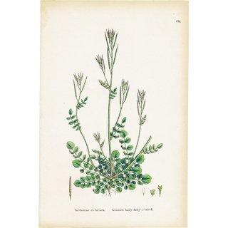 イギリス ボタニカルプリント/植物画 Cardamine eu-hirsuta(ミチタネツケバナ). plate.110,1863JOHN EDWARD SOWERBY 0373