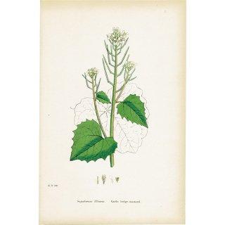 イギリス ボタニカルプリント/植物画 Sisymbrium Alliaria(ニンニクガラシ). plate.100,1863JOHN EDWARD SOWERBY 0375
