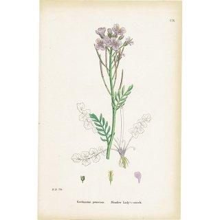 イギリス ボタニカルプリント/植物画 Cardamine pratensis(ハナタネツケバナ). plate.109,1863JOHN EDWARD SOWERBY 0376