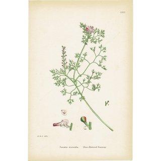 イギリス ボタニカルプリント/植物画 Fumaria micrantha(カラクサケマン). plate.75,1863JOHN EDWARD SOWERBY 0379