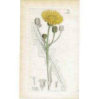 イギリス ボタニカルプリント/植物画 Sonchus arvensis(タイワンハチジョウナ). plate.1067,1839 JAMES SOWERBY 0380