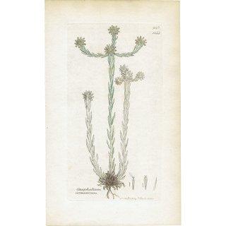 イギリス ボタニカルプリント/植物画 Gnaphalium Germanicum(ハハコグサ). plate.1144,1839 JAMES SOWERBY 0381