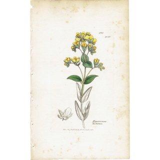 イギリス ボタニカルプリント/植物画 Hypericum barbatum(ヒペリカム/オトギリソウ). plate.1057,1839 JAMES SOWERBY 0383