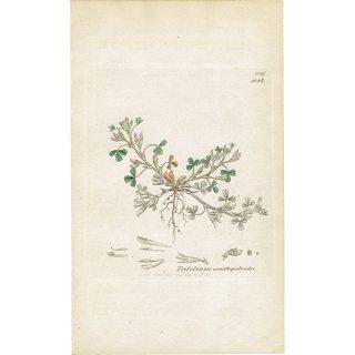 イギリス ボタニカルプリント/植物画 Trifolium ornithopodioides(ミヤコグサの仲間). plate.1027,1839 JAMES SOWERBY 0388