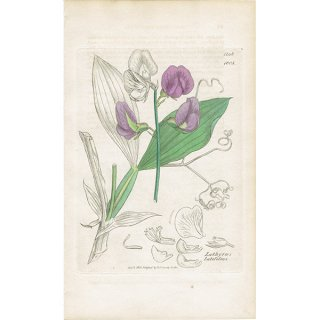 イギリス ボタニカルプリント/植物画 Lathyrus latifolius(ヒロハノレンリソウ/宿根スイートピー). plate.1005,1839 JAMES SOWERBY 0389