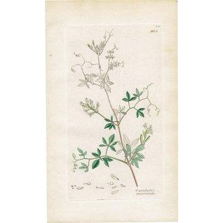 イギリス ボタニカルプリント/植物画 Corydalis claviculata(コリダリス). plate.985,1839 JAMES SOWERBY 0390