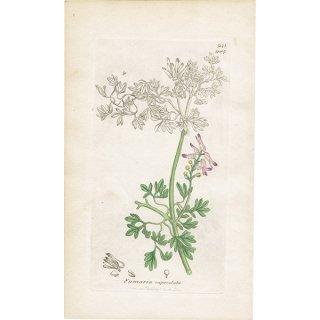 イギリス ボタニカルプリント/植物画 Fumaria capreolata(ニセカラクサケマン). plate.987,1839 JAMES SOWERBY 0391