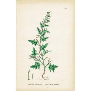 イギリス ボタニカルプリント/植物画 Sisymbrium polyceratium. plate.97,1863JOHN EDWARD SOWERBY 0392