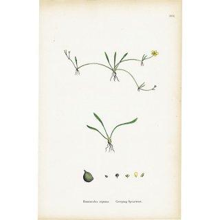 イギリス ボタニカルプリント/植物画 Ranunculus reptans(イトキンポウゲ)plate.30,1863JOHN EDWARD SOWERBY 0393