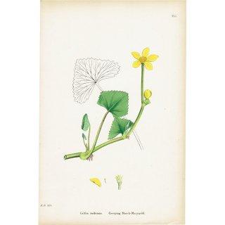イギリス ボタニカルプリント/植物画 Caltha radicans(リュウキンカ)plate.41,1863JOHN EDWARD SOWERBY 0395