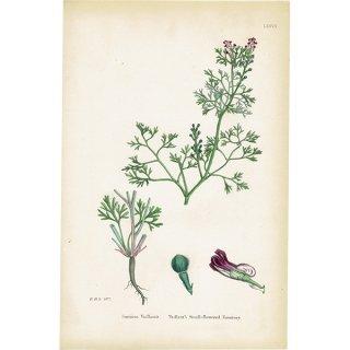 イギリス ボタニカルプリント/植物画 Fumaria Vaillantii. plate.77,1863JOHN EDWARD SOWERBY 0397