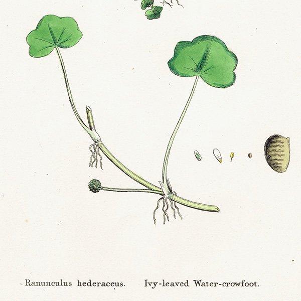 イギリス ボタニカルプリント/植物画 Ranunculus hederaceus. plate.26,1863JOHN EDWARD SOWERBY 0398<img class='new_mark_img2' src='https://img.shop-pro.jp/img/new/icons5.gif' style='border:none;display:inline;margin:0px;padding:0px;width:auto;' />