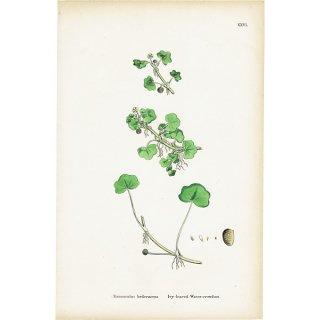 イギリス ボタニカルプリント/植物画 Ranunculus hederaceus. plate.26,1863JOHN EDWARD SOWERBY 0398