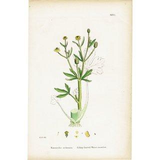 イギリス ボタニカルプリント/植物画 Ranunculus sceleratus(タガラシ). plate.27,1863JOHN EDWARD SOWERBY 0399