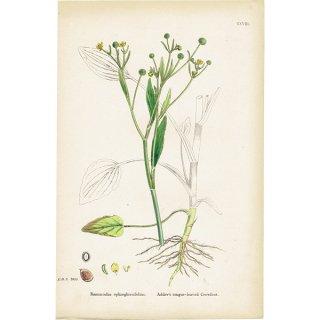 イギリス ボタニカルプリント/植物画 Ranunculus ophioglossifolius(ラナンキュラス). plate.28,1863JOHN EDWARD SOWERBY 0401