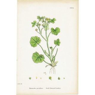 イギリス ボタニカルプリント/植物画 Ranunculus parviflorus(ラナンキュラス). plate.37,1863JOHN EDWARD SOWERBY 0402