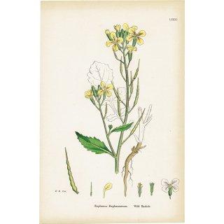 イギリス ボタニカルプリント/植物画 Raphanus Raphanistrum(セイヨウノダイコン). plate.81,1863JOHN EDWARD SOWERBY 0403