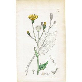 イギリス ボタニカルプリント/植物画 Hieracium maculatum(ウズラバタンポポ). plate.1090,1839 JAMES SOWERBY 0404