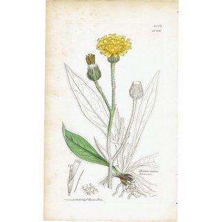 イギリス ボタニカルプリント/植物画 Hieracium Lawsoni(タンポポ). plate.1086,1839 JAMES SOWERBY 0405