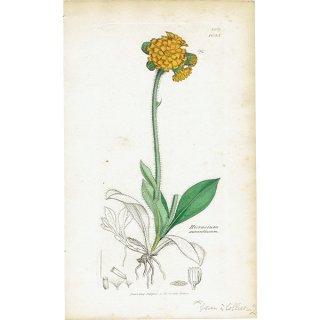 イギリス ボタニカルプリント/植物画 Hieracium aurantiacum(コウリンタンポポ). plate.1085,1839 JAMES SOWERBY 0406