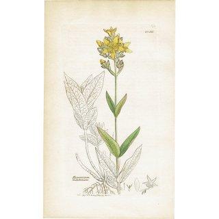 イギリス ボタニカルプリント/植物画 Hypericum montanum(オトギリソウ). plate.1056,1839 JAMES SOWERBY 0407