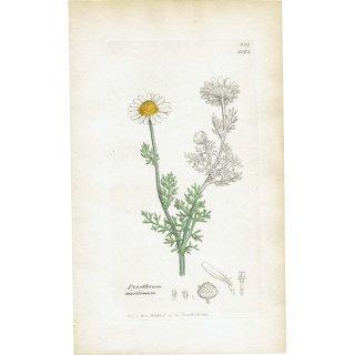 イギリス ボタニカルプリント/植物画 Pyrethrum maritimum. plate.1175,1839 JAMES SOWERBY 0408