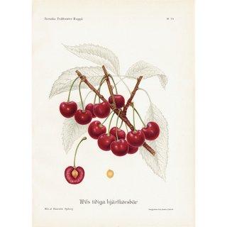 スウェーデン さくらんぼのアンティークボタニカルプリント(チェリー)果実学 植物画 0409