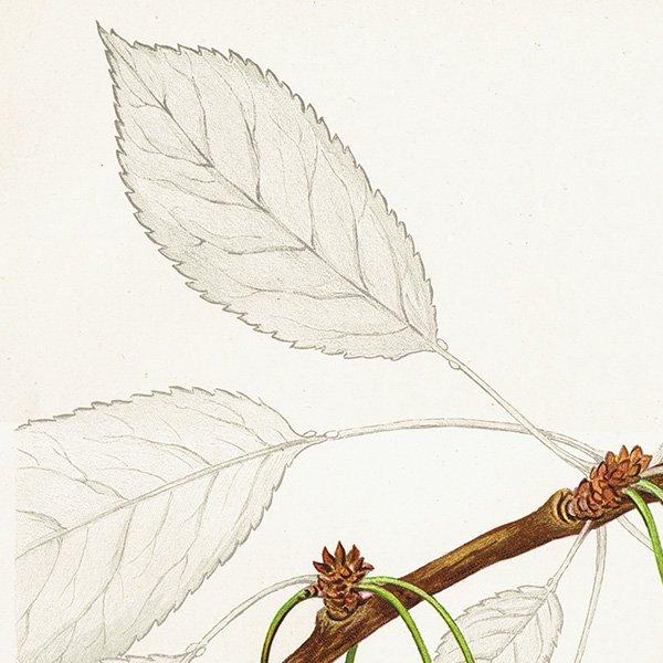 スウェーデン さくらんぼのアンティークボタニカルプリント(チェリー)果実学 植物画 0410