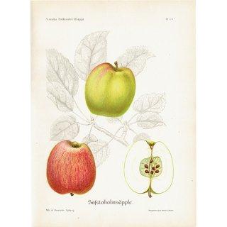 スウェーデン リンゴのアンティークボタニカルプリント(アップル) 果実学 植物画 0411