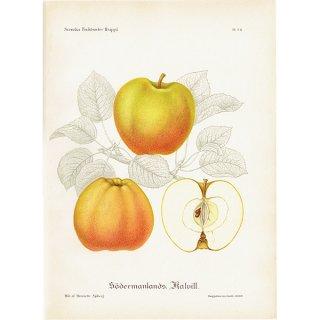 スウェーデン リンゴのアンティークボタニカルプリント(アップル) 果実学 植物画 0412