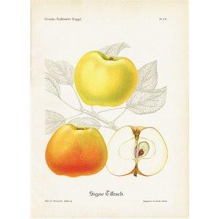 スウェーデン リンゴのアンティークボタニカルプリント(アップル) 果実学 植物画 0413