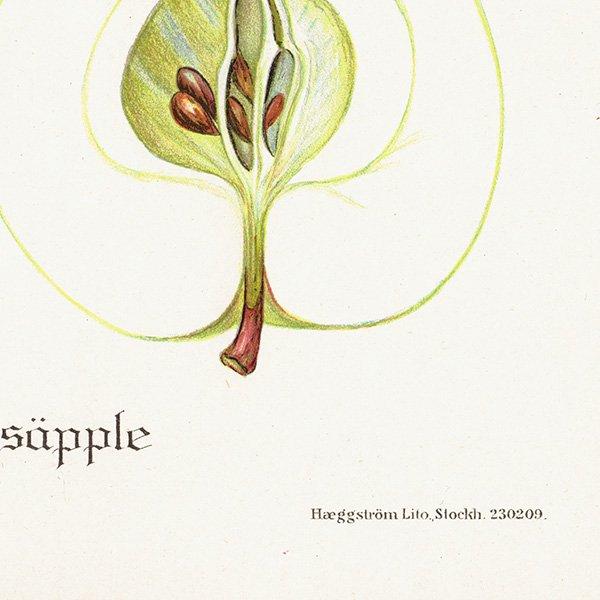 スウェーデン リンゴのアンティークボタニカルプリント(アップル) 果実学 植物画 0414