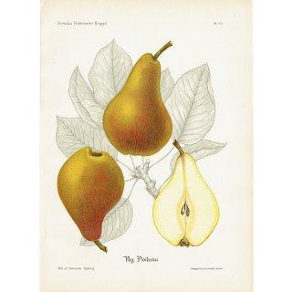 スウェーデン 洋梨のアンティークボタニカルプリント(ナシ)果実学 植物画 0415