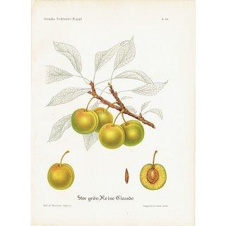 スウェーデン プラムのアンティークボタニカルプリント(Plum)果実学 植物画 0416