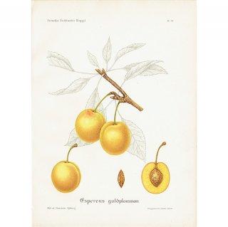 スウェーデン プラムのアンティークボタニカルプリント(Plum)果実学 植物画 0417